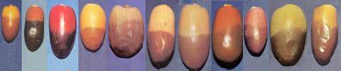 53133 581 - زنان باردار این میوه را فراموش نکنید